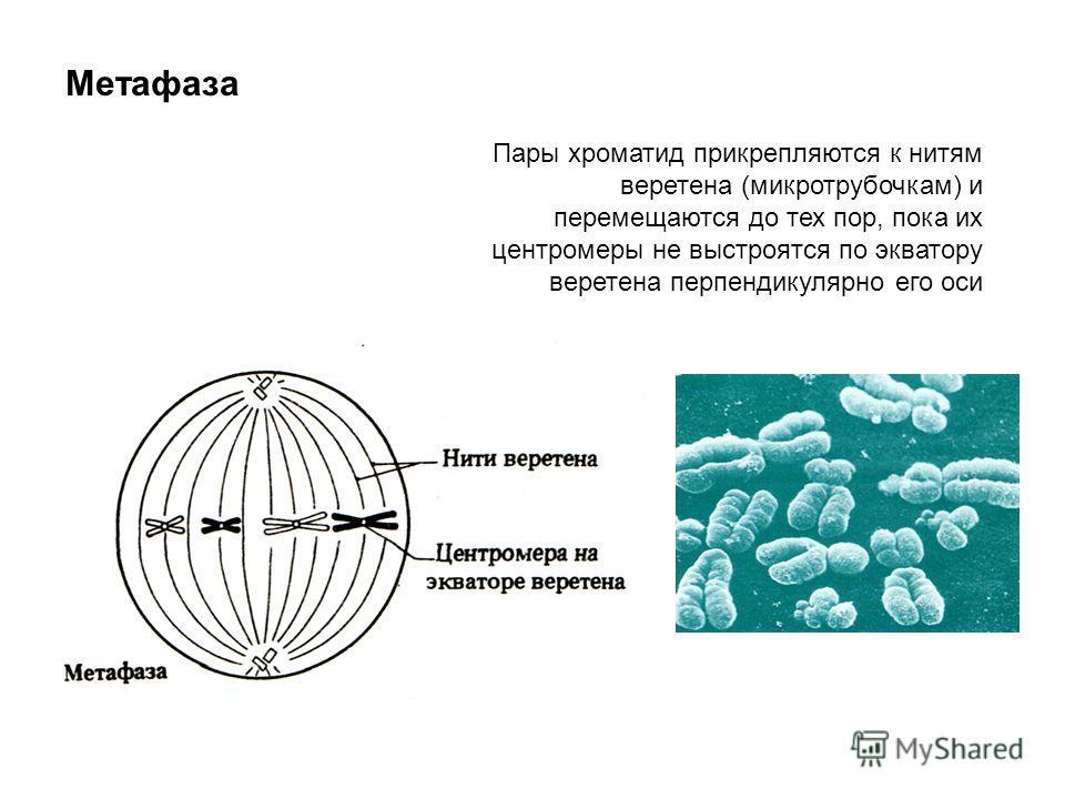Метафаза Пары хроматид прикрепляются к нитям веретена (микротрубочкам) и перемещаются до тех пор, пока их центромеры не выстроятся по экватору веретена перпендикулярно его оси