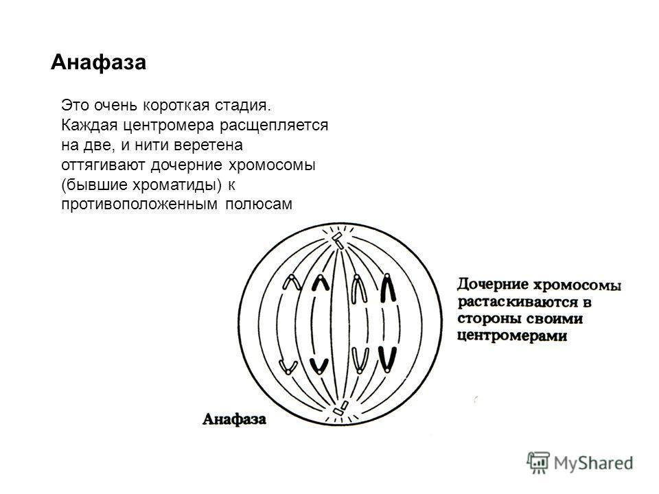 Анафаза Это очень короткая стадия. Каждая центромера расщепляется на две, и нити веретена оттягивают дочерние хромосомы (бывшие хроматиды) к противоположенным полюсам