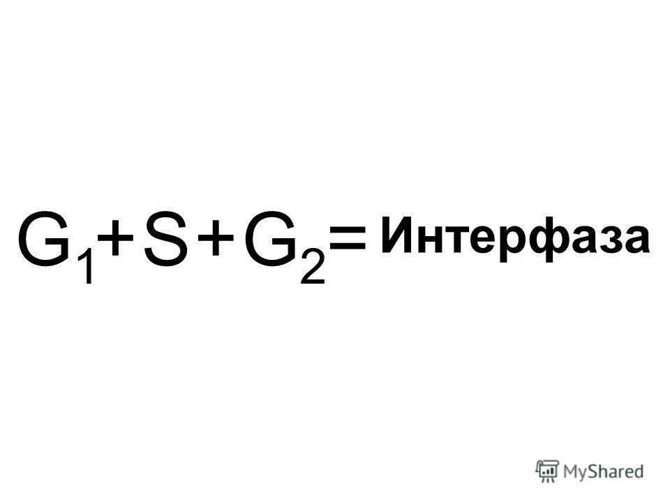 G1G1 G2G2 S ++= Интерфаза