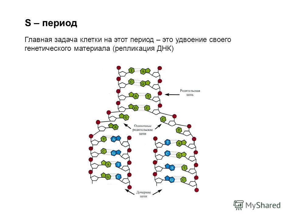 S – период Главная задача клетки на этот период – это удвоение своего генетического материала (репликация ДНК)