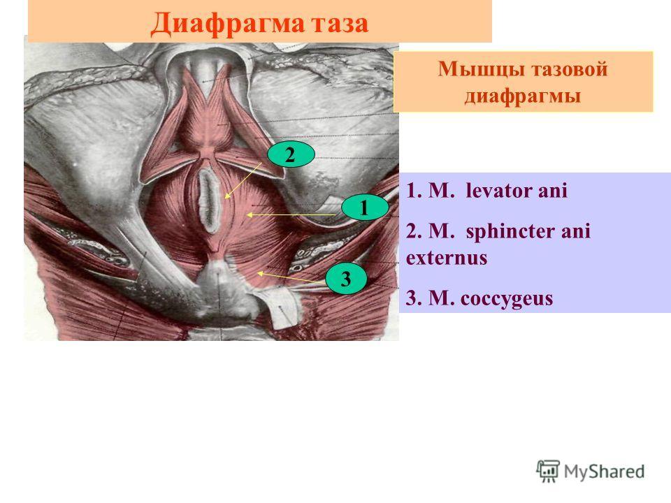 Диафрагма таза 1. M. levator ani 2. M. sphincter ani externus 3. M. coccygeus Мышцы тазовой диафрагмы 2 1 3
