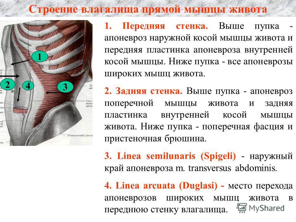 Строение влагалища прямой мышцы живота 1. Передняя стенка. Выше пупка - апоневроз наружной косой мышцы живота и передняя пластинка апоневроза внутренней косой мышцы. Ниже пупка - все апоневрозы широких мышц живота. 2. Задняя стенка. Выше пупка - апон