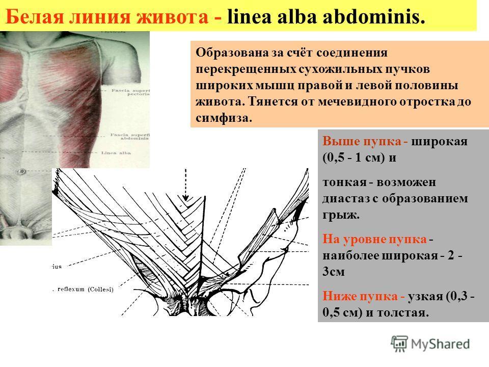 Белая линия живота - linea alba abdominis. Выше пупка - широкая (0,5 - 1 см) и тонкая - возможен диастаз с образованием грыж. На уровне пупка - наиболее широкая - 2 - 3см Ниже пупка - узкая (0,3 - 0,5 см) и толстая. Образована за счёт соединения пере