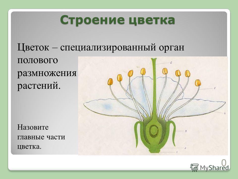 Строение цветка 10 Цветок – специализированный орган полового размножения растений. Назовите главные части цветка.