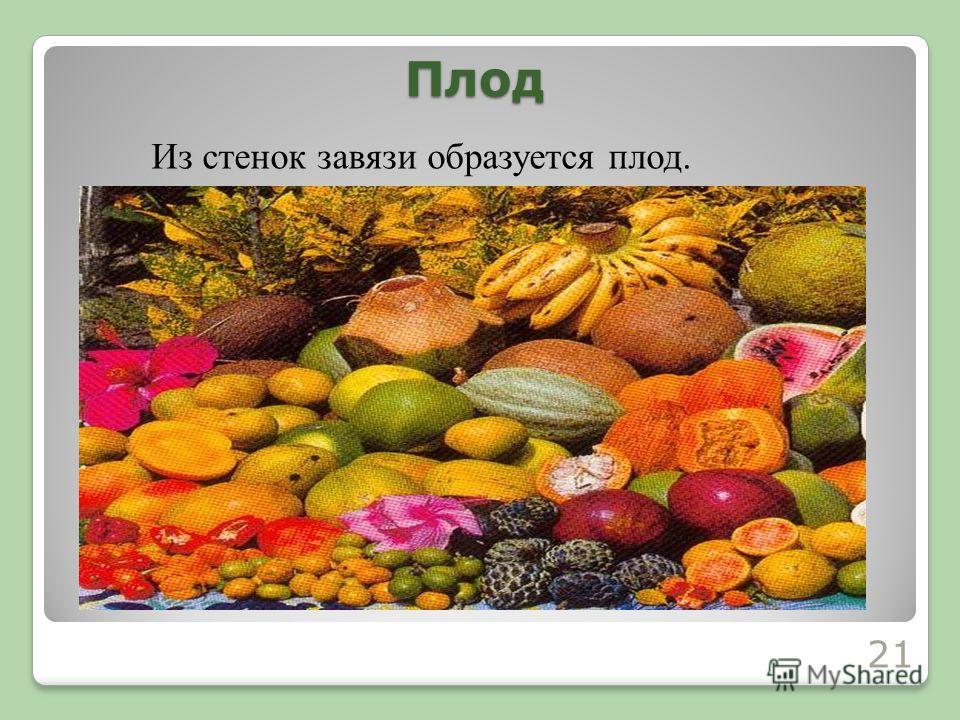 Плод Из стенок завязи образуется плод. 21