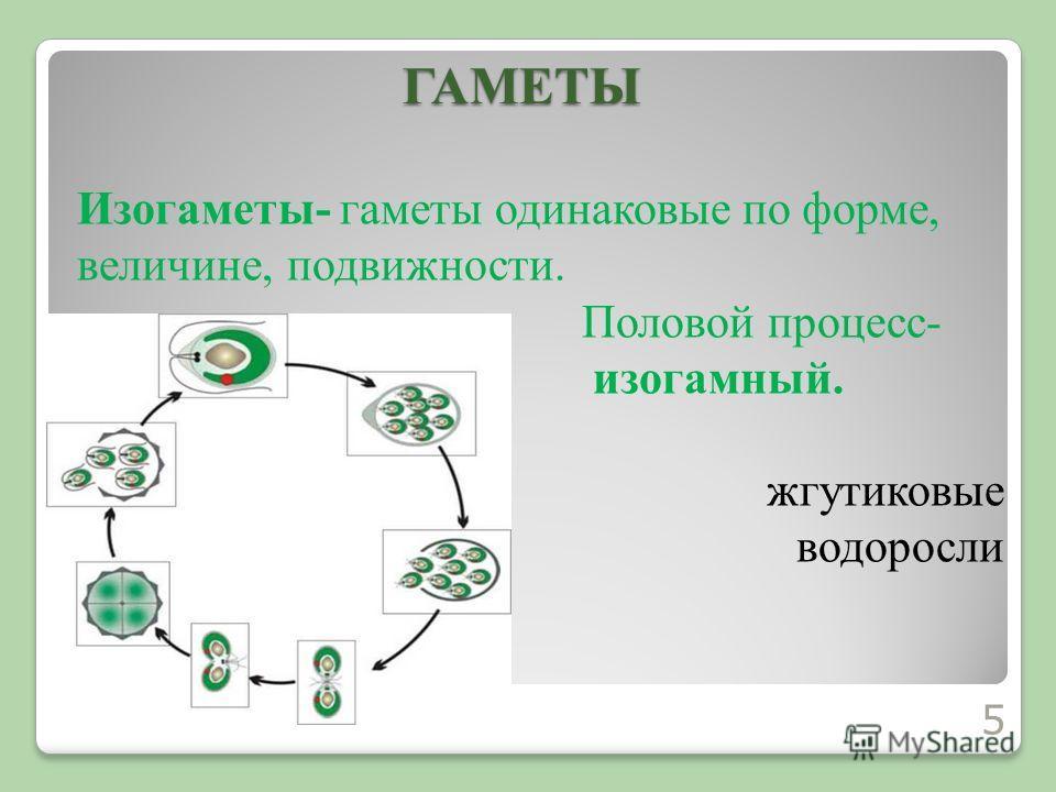Изогаметы- гаметы одинаковые по форме, величине, подвижности. Половой процесс- изогамный. жгутиковые водорослиГАМЕТЫ 5