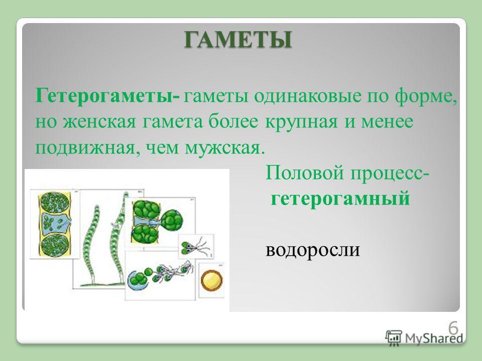 Гетерогаметы- гаметы одинаковые по форме, но женская гамета более крупная и менее подвижная, чем мужская. Половой процесс- гетерогамный водорослиГАМЕТЫ 6