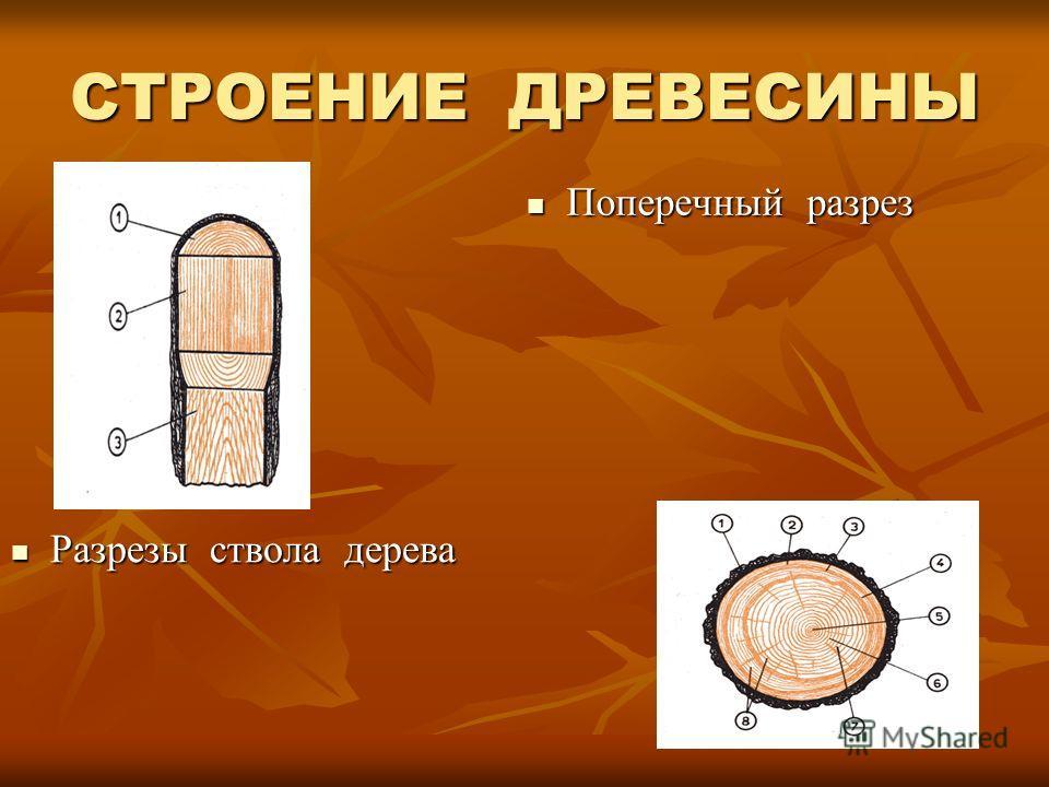 СТРОЕНИЕ ДРЕВЕСИНЫ Разрезы ствола дерева Разрезы ствола дерева Поперечный разрез Поперечный разрез