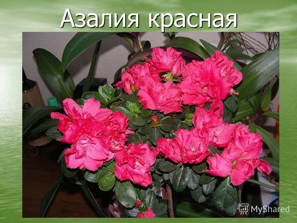 Цветок азалия уход за ними