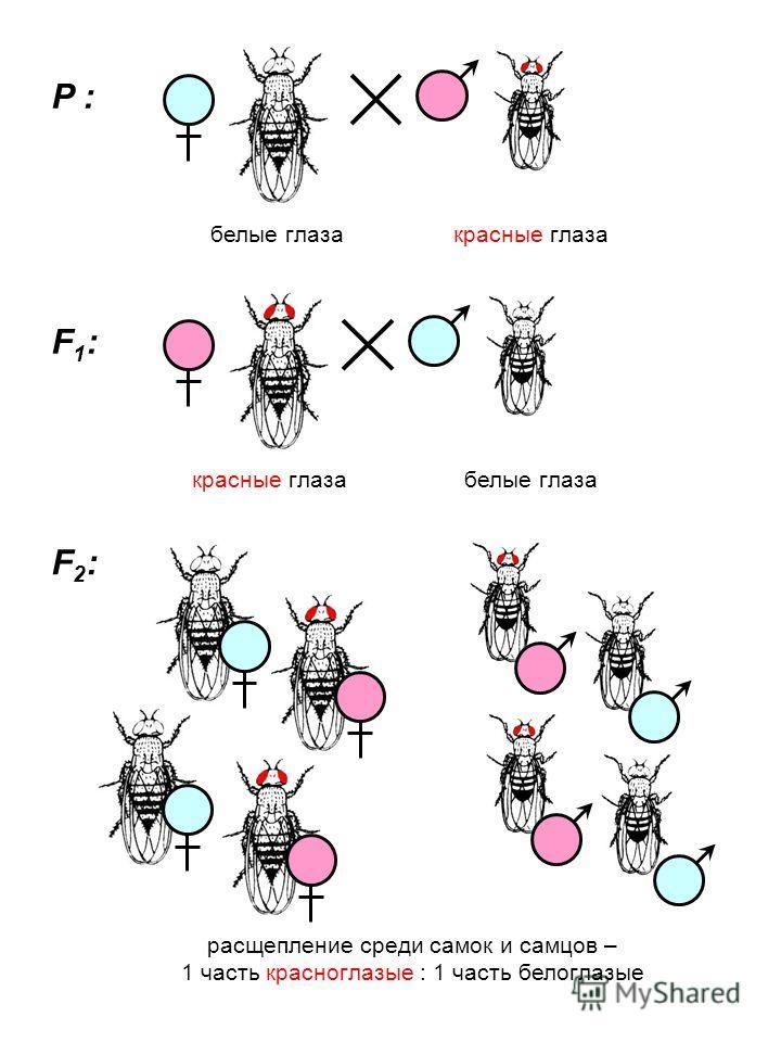 P : F1:F1: F2:F2: белые глазакрасные глаза белые глаза расщепление среди самок и самцов – 1 часть красноглазые : 1 часть белоглазые