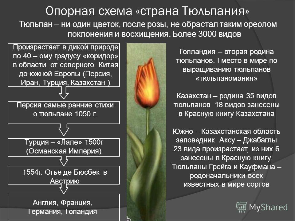Опорная схема «страна Тюльпания» Тюльпан – ни один цветок, после розы, не обрастал таким ореолом поклонения и восхищения. Более 3000 видов Произрастает в дикой природе по 40 – ому градусу «коридор» в области от северного Китая до южной Европы (Персия
