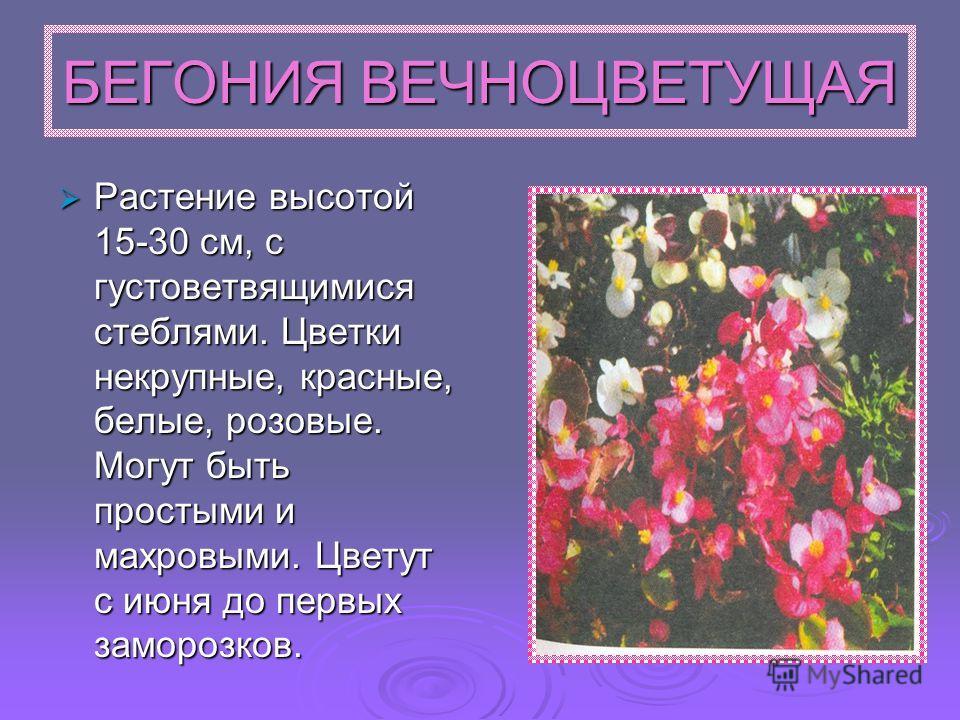 БЕГОНИЯ ВЕЧНОЦВЕТУЩАЯ Растение высотой 15-30 см, с густоветвящимися стеблями. Цветки некрупные, красные, белые, розовые. Могут быть простыми и махровыми. Цветут с июня до первых заморозков. Растение высотой 15-30 см, с густоветвящимися стеблями. Цвет