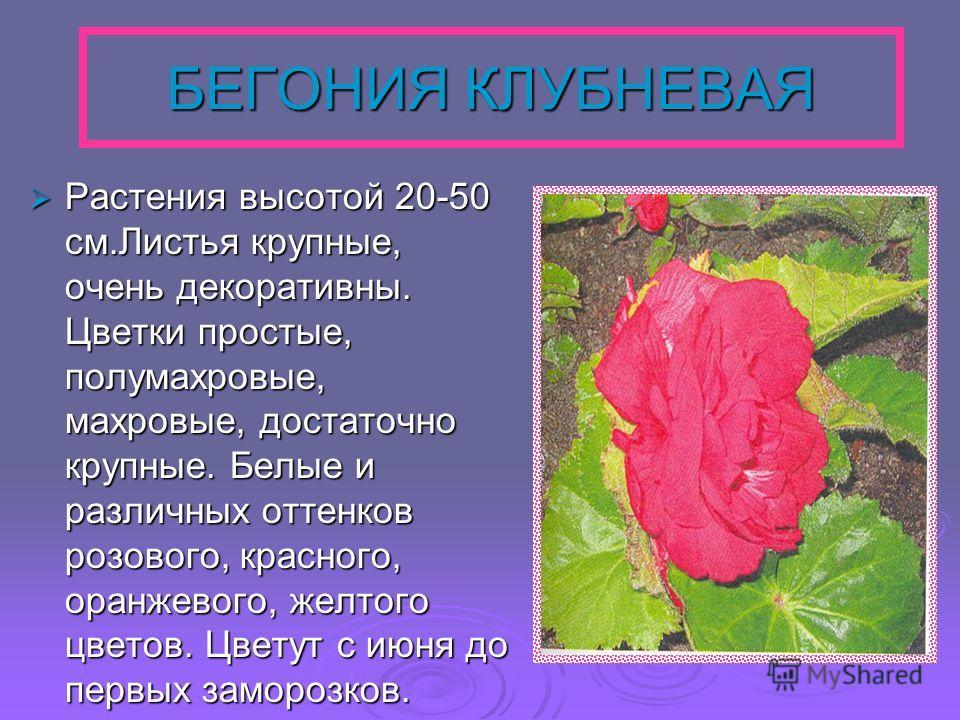 БЕГОНИЯ КЛУБНЕВАЯ Растения высотой 20-50 см.Листья крупные, очень декоративны. Цветки простые, полумахровые, махровые, достаточно крупные. Белые и различных оттенков розового, красного, оранжевого, желтого цветов. Цветут с июня до первых заморозков.