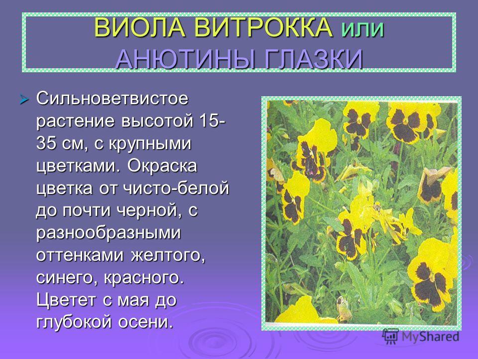 ВИОЛА ВИТРОККА или АНЮТИНЫ ГЛАЗКИ Сильноветвистое растение высотой 15- 35 см, с крупными цветками. Окраска цветка от чисто-белой до почти черной, с разнообразными оттенками желтого, синего, красного. Цветет с мая до глубокой осени. Сильноветвистое ра