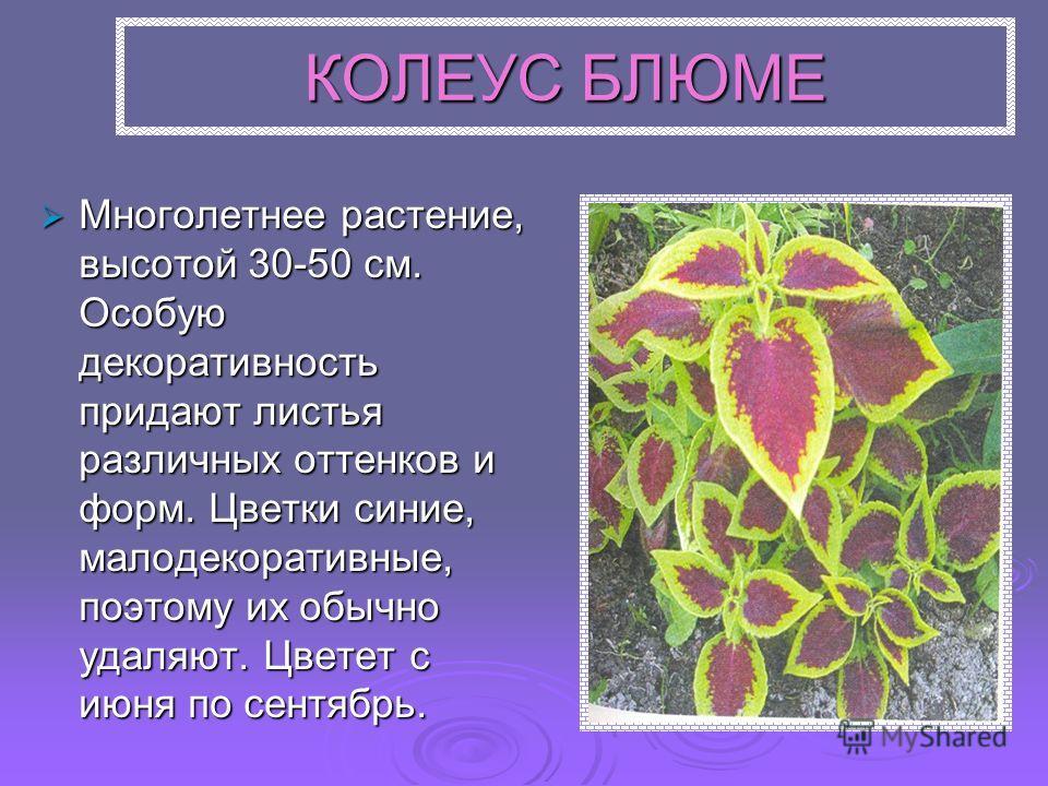 КОЛЕУС БЛЮМЕ Многолетнее растение, высотой 30-50 см. Особую декоративность придают листья различных оттенков и форм. Цветки синие, малодекоративные, поэтому их обычно удаляют. Цветет с июня по сентябрь. Многолетнее растение, высотой 30-50 см. Особую