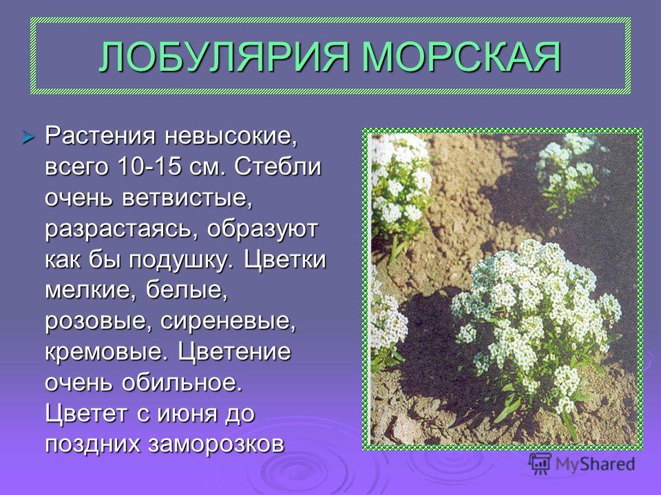 ЛОБУЛЯРИЯ МОРСКАЯ Растения невысокие, всего 10-15 см. Стебли очень ветвистые, разрастаясь, образуют как бы подушку. Цветки мелкие, белые, розовые, сиреневые, кремовые. Цветение очень обильное. Цветет с июня до поздних заморозков Растения невысокие, в