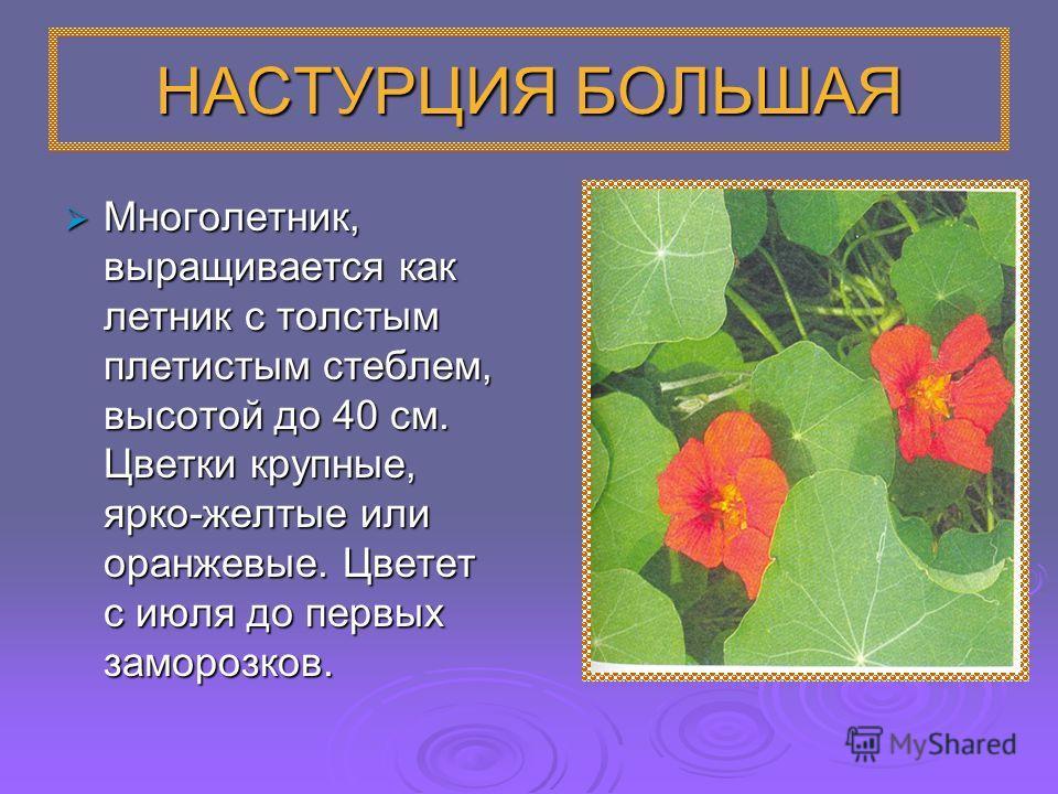 НАСТУРЦИЯ БОЛЬШАЯ Многолетник, выращивается как летник с толстым плетистым стеблем, высотой до 40 см. Цветки крупные, ярко-желтые или оранжевые. Цветет с июля до первых заморозков. Многолетник, выращивается как летник с толстым плетистым стеблем, выс