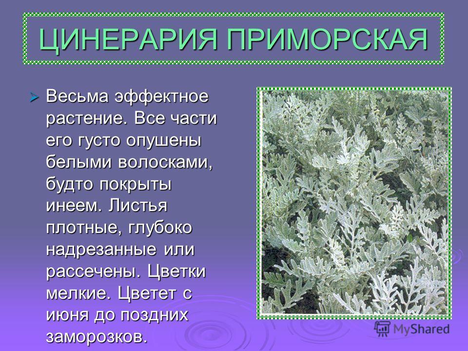 ЦИНЕРАРИЯ ПРИМОРСКАЯ Весьма эффектное растение. Все части его густо опушены белыми волосками, будто покрыты инеем. Листья плотные, глубоко надрезанные или рассечены. Цветки мелкие. Цветет с июня до поздних заморозков. Весьма эффектное растение. Все ч