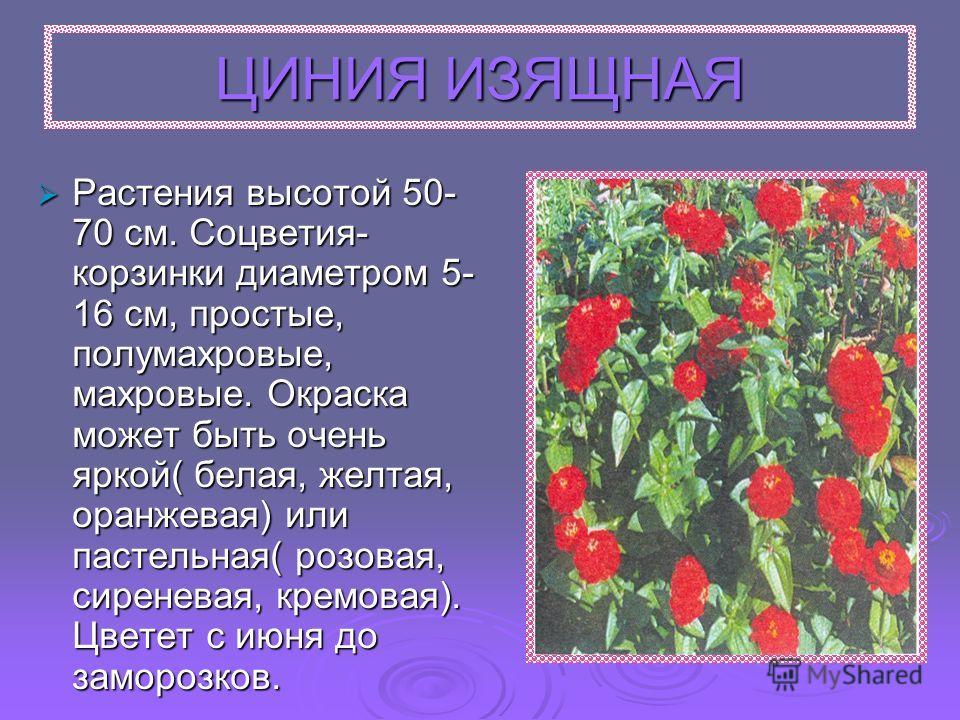 ЦИНИЯ ИЗЯЩНАЯ Растения высотой 50- 70 см. Соцветия- корзинки диаметром 5- 16 см, простые, полумахровые, махровые. Окраска может быть очень яркой( белая, желтая, оранжевая) или пастельная( розовая, сиреневая, кремовая). Цветет с июня до заморозков.