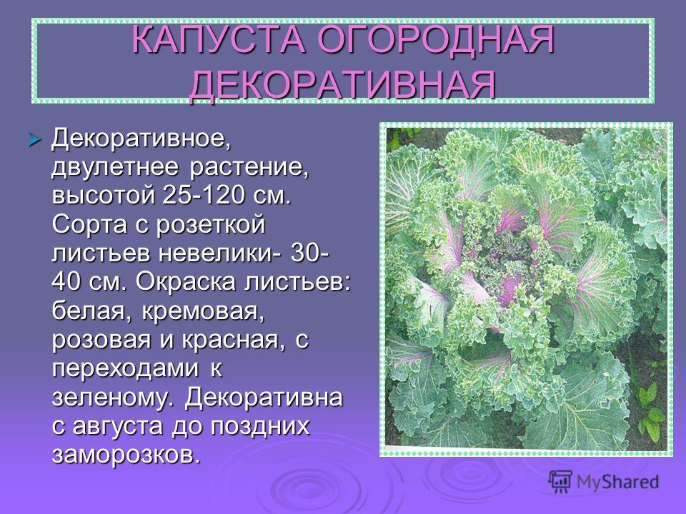 КАПУСТА ОГОРОДНАЯ ДЕКОРАТИВНАЯ Декоративное, двулетнее растение, высотой 25-120 см. Сорта с розеткой листьев невелики- 30- 40 см. Окраска листьев: белая, кремовая, розовая и красная, с переходами к зеленому. Декоративна с августа до поздних заморозко