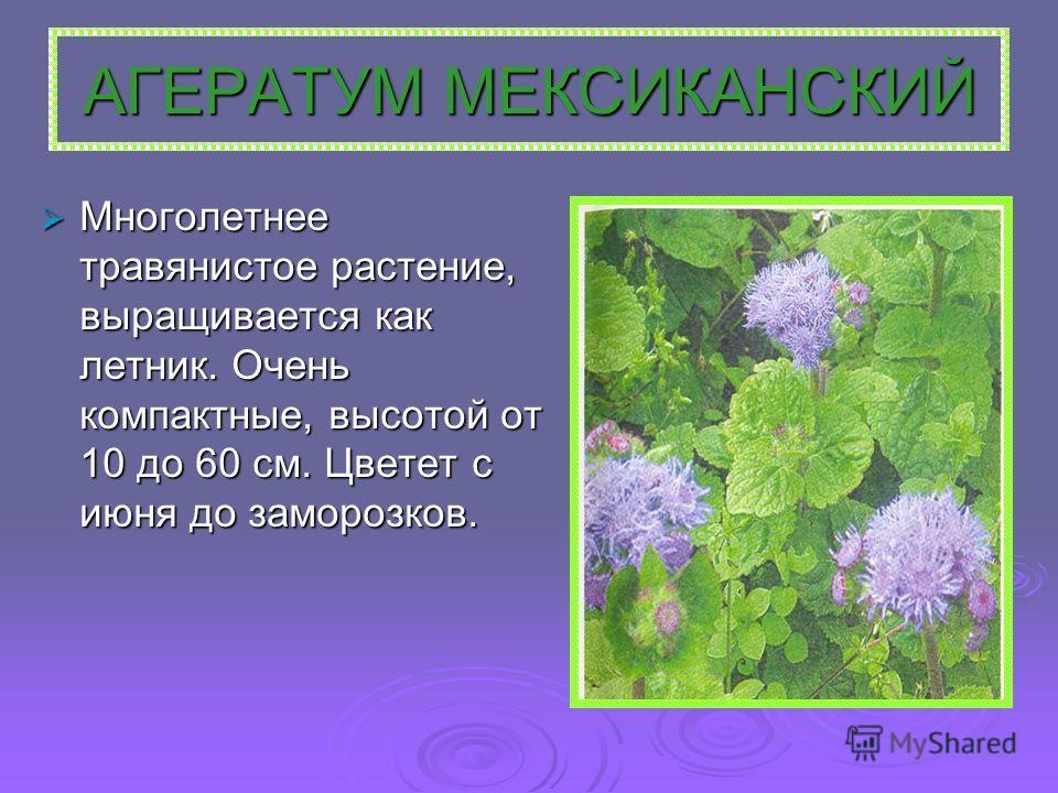 АГЕРАТУМ МЕКСИКАНСКИЙ Многолетнее травянистое растение, выращивается как летник. Очень компактные, высотой от 10 до 60 см. Цветет с июня до заморозков. Многолетнее травянистое растение, выращивается как летник. Очень компактные, высотой от 10 до 60 с