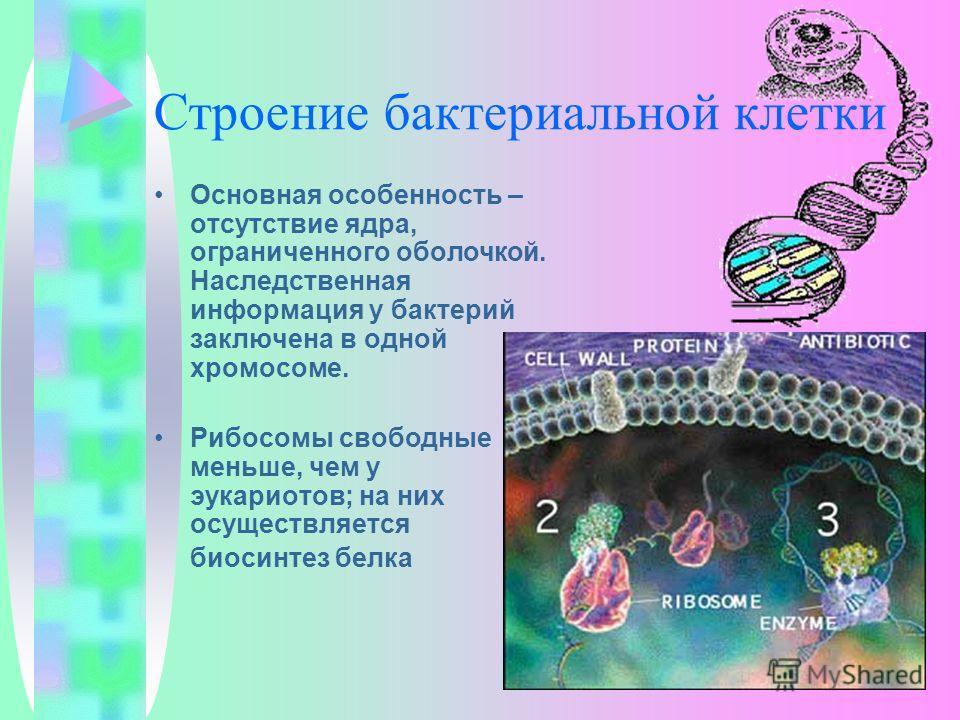 Строение бактериальной клетки Основная особенность – отсутствие ядра, ограниченного оболочкой. Наследственная информация у бактерий заключена в одной хромосоме. Рибосомы свободные меньше, чем у эукариотов; на них осуществляется биосинтез белка