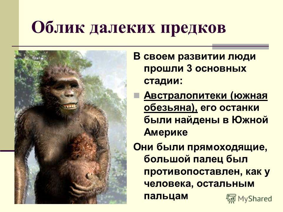 Облик далеких предков В своем развитии люди прошли 3 основных стадии: Австралопитеки (южная обезьяна), его останки были найдены в Южной Америке Они были прямоходящие, большой палец был противопоставлен, как у человека, остальным пальцам