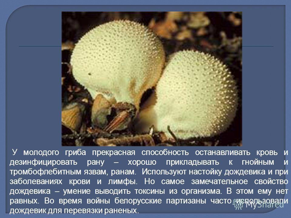 У молодого гриба прекрасная способность останавливать кровь и дезинфицировать рану – хорошо прикладывать к гнойным и тромбофлебитным язвам, ранам. Используют настойку дождевика и при заболеваниях крови и лимфы. Но самое замечательное свойство дождеви