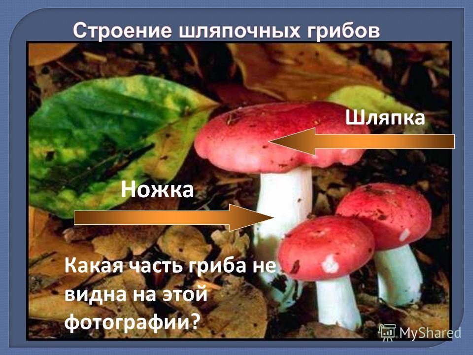 Какая часть гриба не видна на этой фотографии? Ножка Шляпка