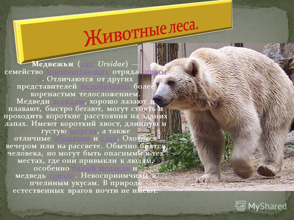 Медвежьи (лат. Ursidae) семейство млекопитающих отряда хищны х. Отличаются от других представителей псообразных более коренастым телосложением. Медведи всеядны, хорошо лазают и плавают, быстро бегают, могут стоять и проходить короткие расстояния на з