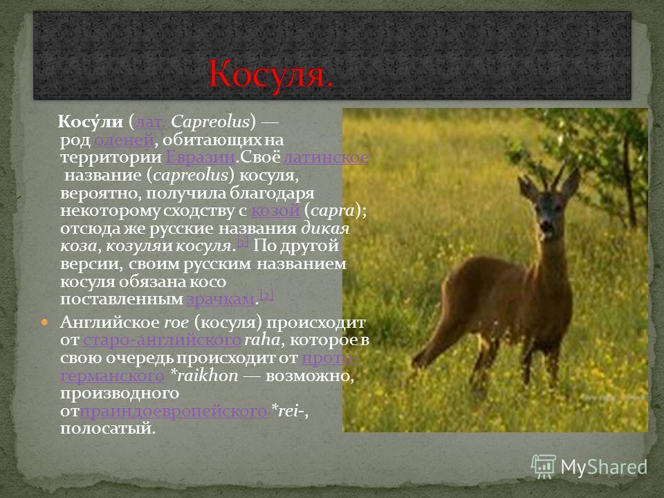 Косу́ли (лат. Capreolus) род оленей, обитающих на территории Евразии.Своё латинское название (capreolus) косуля, вероятно, получила благодаря некоторому сходству с козой (capra); отсюда же русские названия дикая коза, козуляи косуля. [1] По другой ве