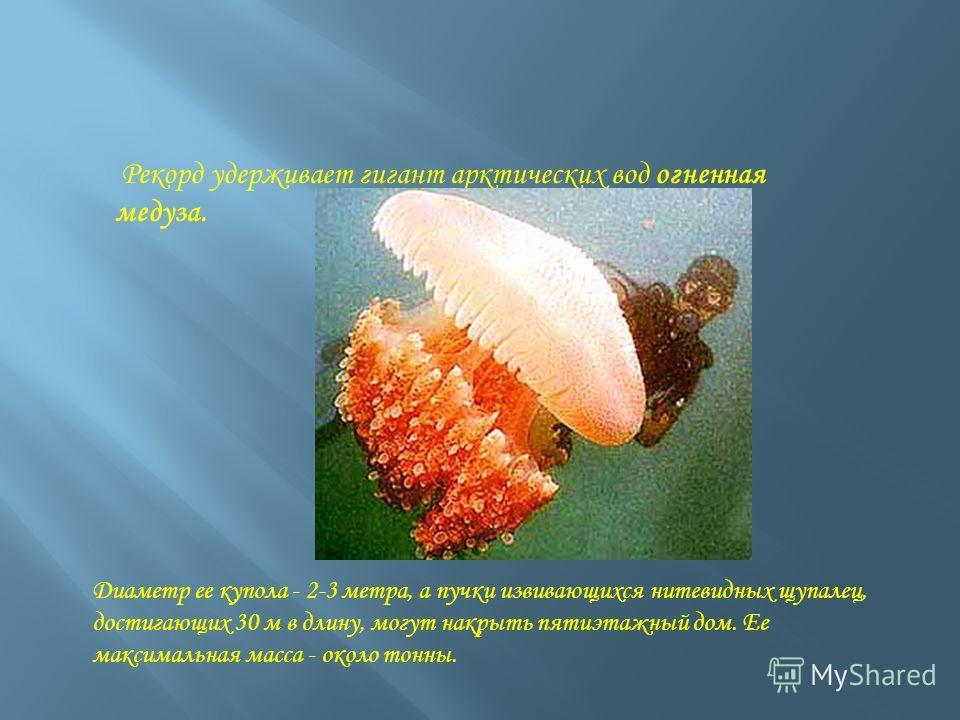Рекорд удерживает гигант арктических вод огненная медуза. Диаметр ее купола - 2-3 метра, а пучки извивающихся нитевидных щупалец, достигающих 30 м в длину, могут накрыть пятиэтажный дом. Ее максимальная масса - около тонны.