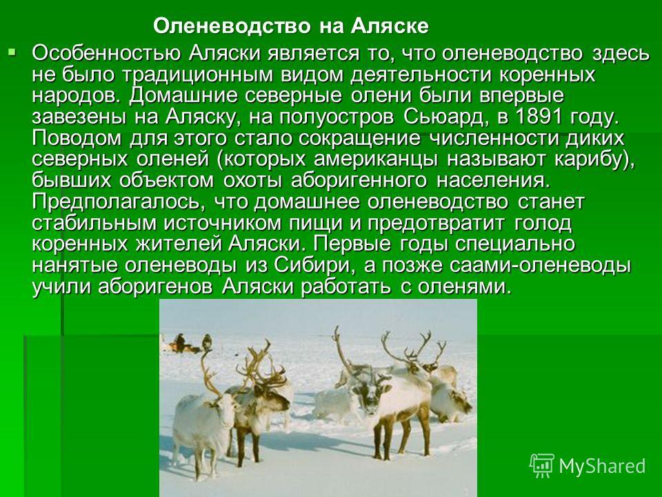 Оленеводство на Аляске Оленеводство на Аляске Особенностью Аляски является то, что оленеводство здесь не было традиционным видом деятельности коренных народов. Домашние северные олени были впервые завезены на Аляску, на полуостров Сьюард, в 1891 году