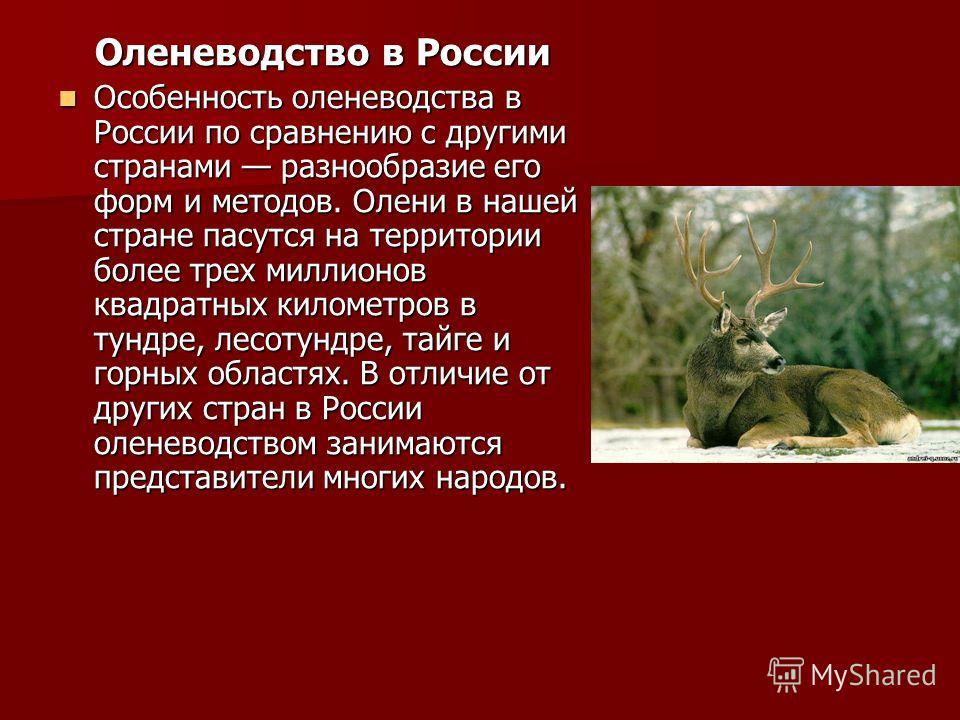 Оленеводство в России Оленеводство в России Особенность оленеводства в России по сравнению с другими странами разнообразие его форм и методов. Олени в нашей стране пасутся на территории более трех миллионов квадратных километров в тундре, лесотундре,
