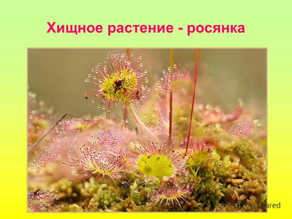 Хищное растение - росянка