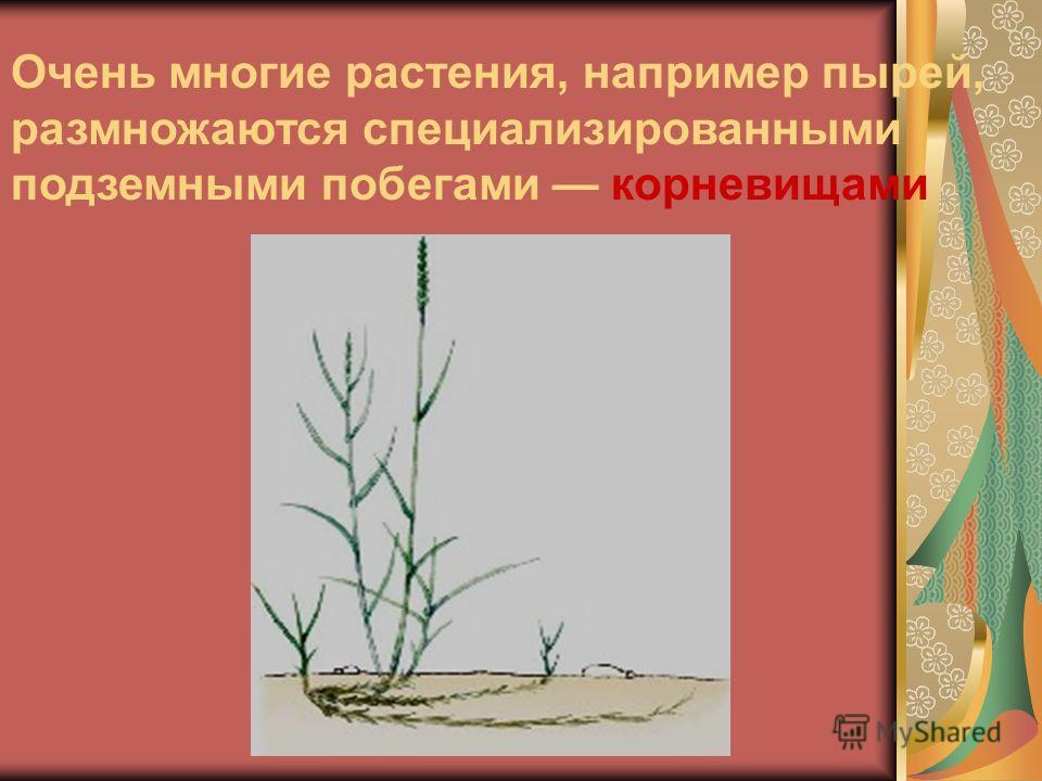 Очень многие растения, например пырей, размножаются специализированными подземными побегами корневищами