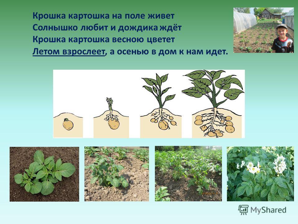 Крошка картошка на поле живет Солнышко любит и дождика ждёт Крошка картошка весною цветет Летом взрослеет, а осенью в дом к нам идет.