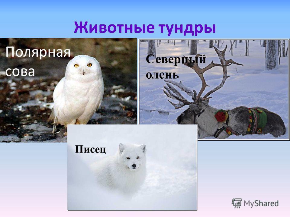Животные тундры Полярная сова Северный олень Писец