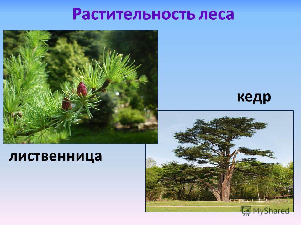 кедр Растительность леса лиственница