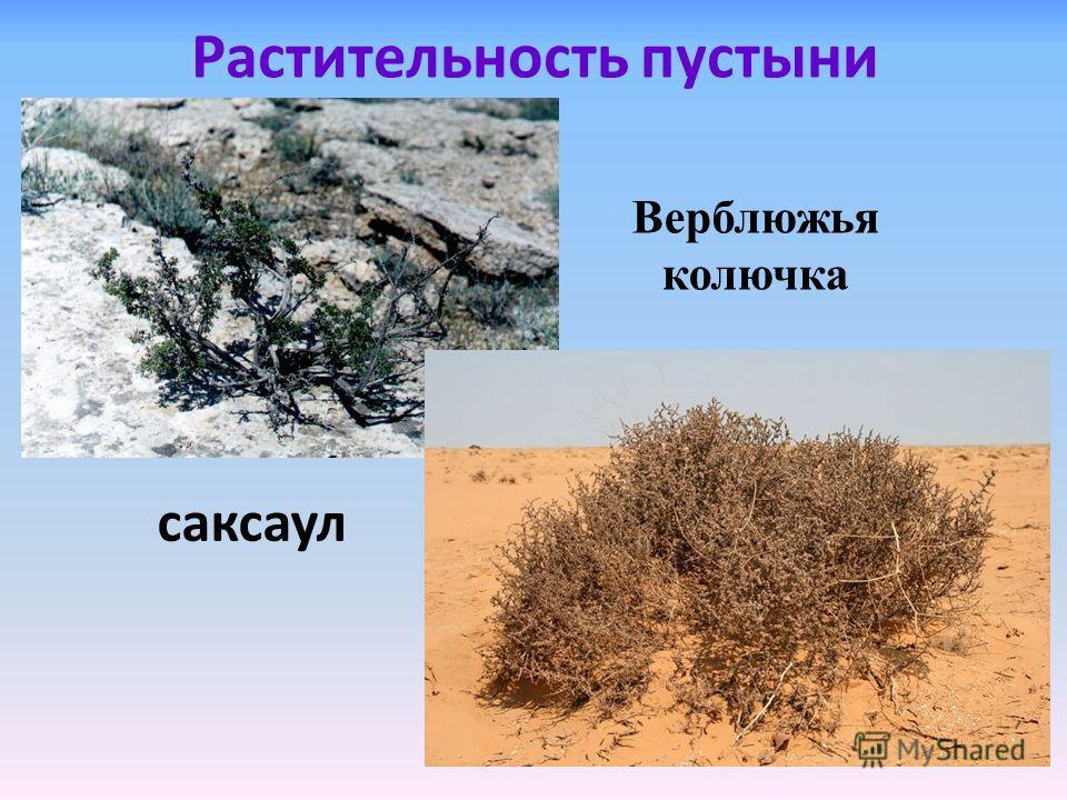 Растительность пустыни саксаул