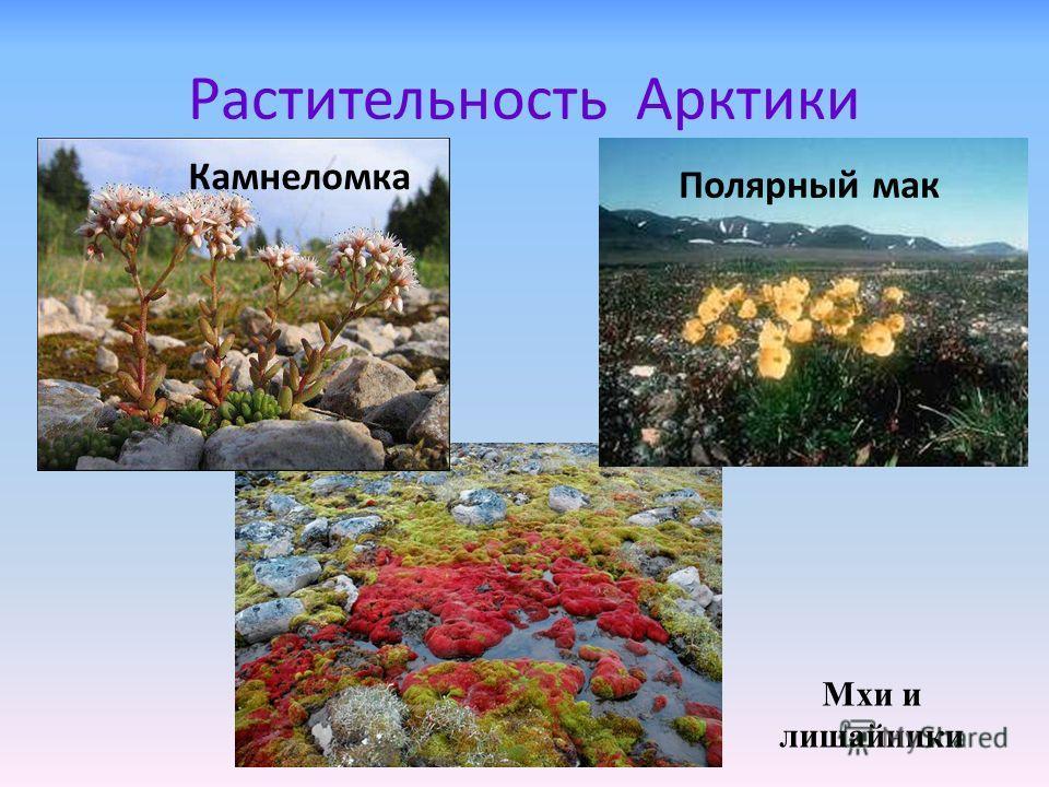 Растительность арктики камнеломка