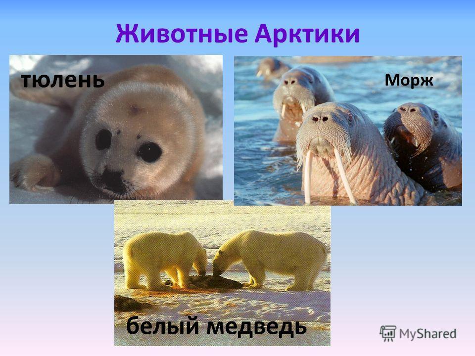 Животные Арктики тюлень белый медведь Морж