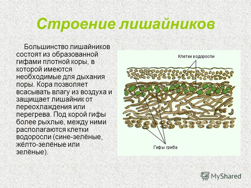 Строение лишайников Большинство лишайников состоят из образованной гифами плотной коры, в которой имеются необходимые для дыхания поры. Кора позволяет всасывать влагу из воздуха и защищает лишайник от переохлаждения или перегрева. Под корой гифы боле