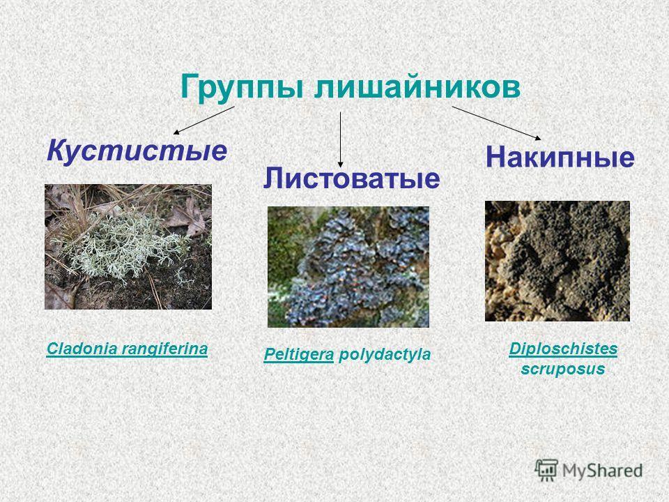 Группы лишайников Кустистые Листоватые Накипные PeltigeraPeltigera polydactyla Diploschistes scruposus Cladonia rangiferina