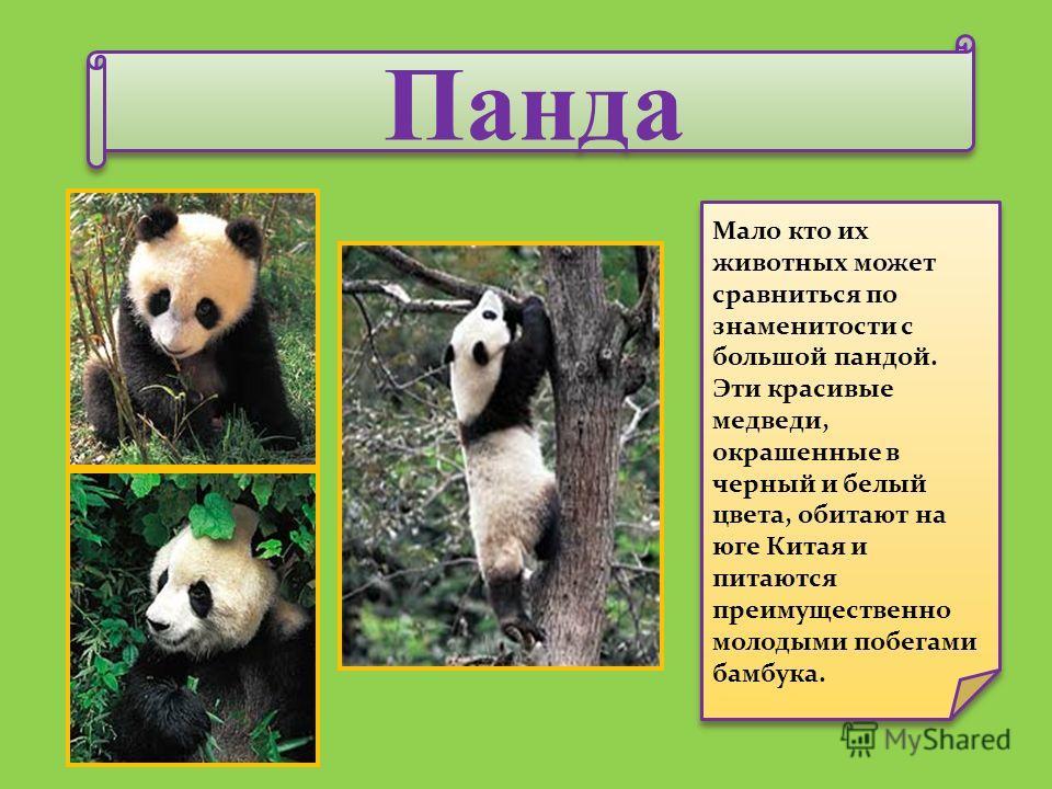 Панда Панда Мало кто их животных может сравниться по знаменитости с большой пандой. Эти красивые медведи, окрашенные в черный и белый цвета, обитают на юге Китая и питаются преимущественно молодыми побегами бамбука.