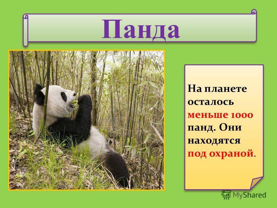 Панда Панда На планете осталось меньше 1000 панд. Они находятся под охраной.