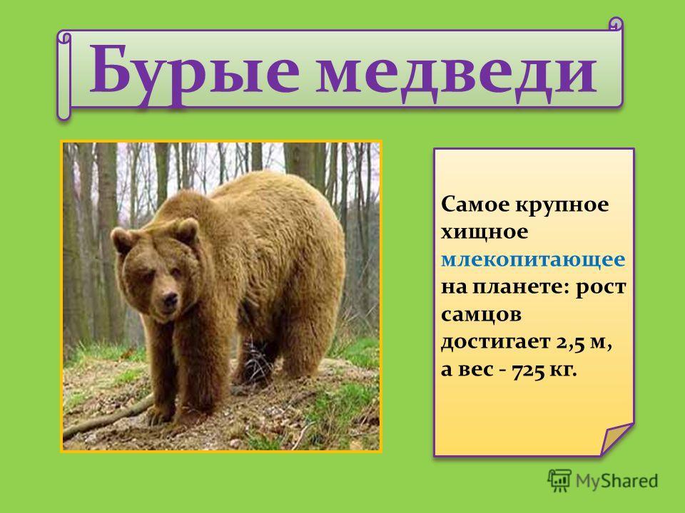 Бурые медведи Самое крупное хищное млекопитающее на планете: рост самцов достигает 2,5 м, а вес - 725 кг.