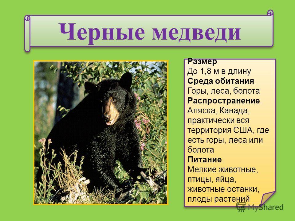 Черные медведи Размер. До 1,8 м в длину Среда обитания. Горы, леса, болота Распространение. Аляска, Канада, практически вся территория США, где есть горы, леса или болота Питание. Мелкие животные, птицы, яйца, животные останки, плоды растений Размер.