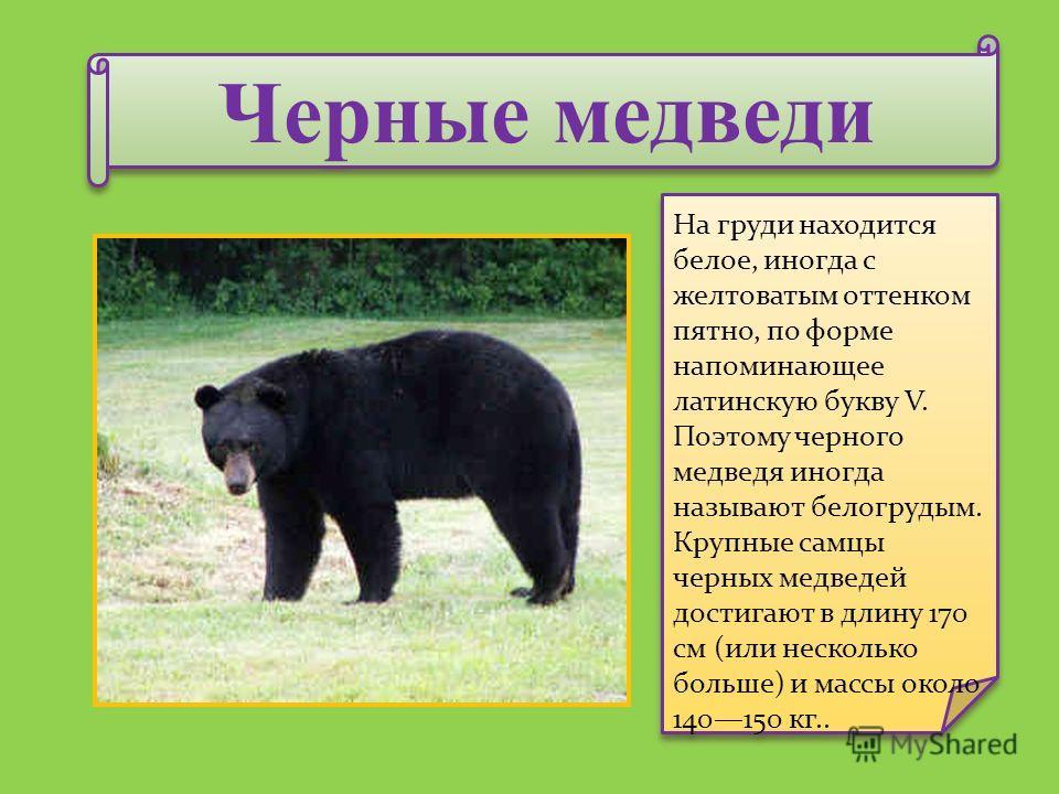 Черные медведи На груди находится белое, иногда с желтоватым оттенком пятно, по форме напоминающее латинскую букву V. Поэтому черного медведя иногда называют белогрудым. Крупные самцы черных медведей достигают в длину 170 см (или несколько больше) и