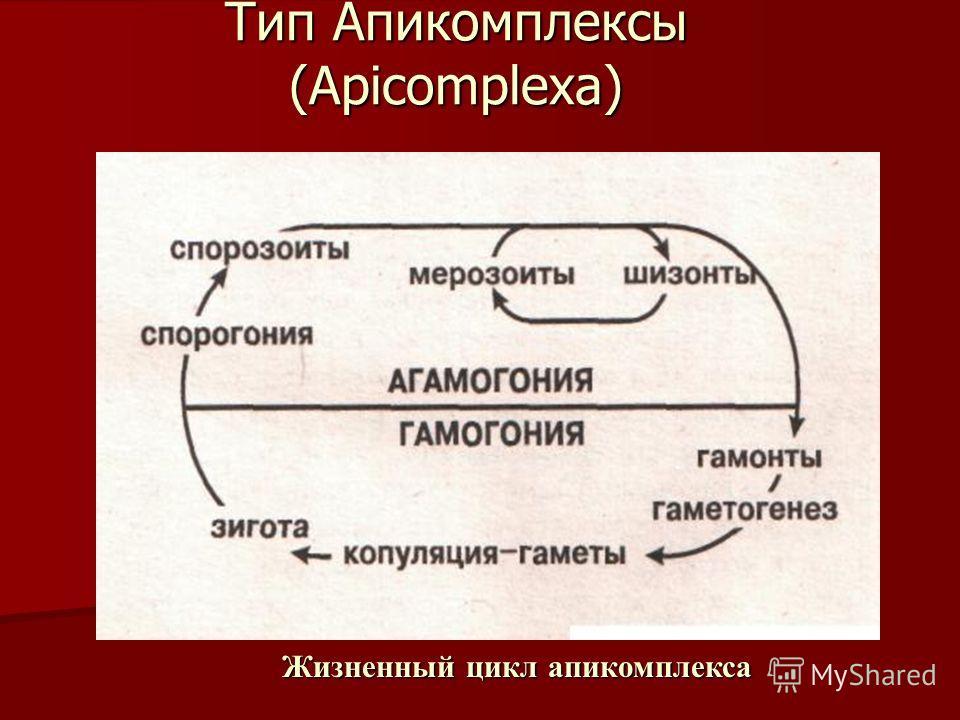 Тип Апикомплексы (Apicomplexa). Жизненный цикл апикомплекса